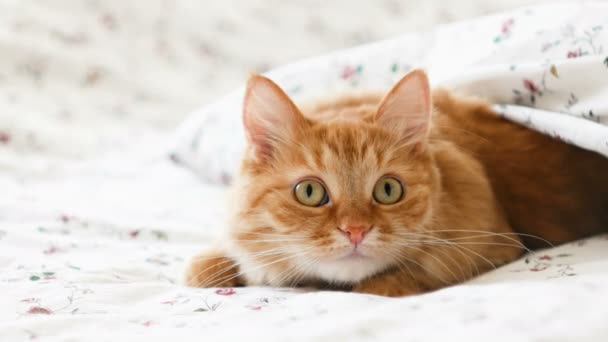 Cute ginger cat lying in bed. Fluffy pet comfortably settled to sleep under blanket. Cozy home background with funny pet.