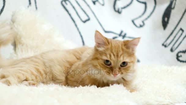 Roztomilá kočičí ležet v posteli. Nadýchané zvědavý pet v útulném domácím prostředí.