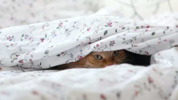 Die süße Ingwerkatze liegt im Bett und versteckt sich vor den Menschen unter einer Decke. Flauschiges Haustier sieht neugierig aus.