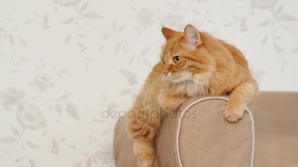 Roztomilý zázvor kočka ležící na opěradlo pohovky. Nadýchané pet hrají ve fotoaparátu. Útulný domov pozadí.