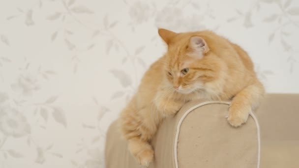 Roztomilý zázvor kočka ležící na opěradlo pohovky. Nadýchané domácí zvíře bude spát. Útulný domov pozadí.