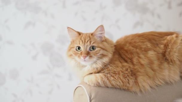 Aranyos gyömbér macska feküdt kar kanapé. Bolyhos kisállat főszereplő a kamera. Hangulatos otthoni háttér.