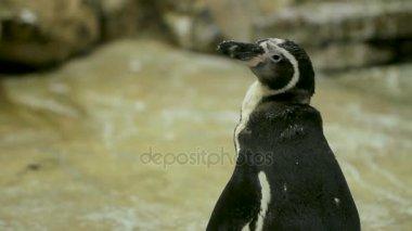 Humboldt Penguin Peruvian Penguin Spheniscus humboldti