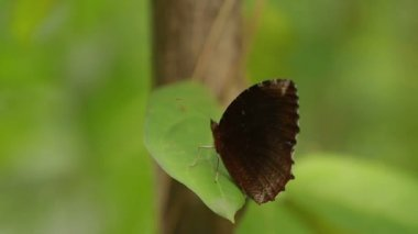 Butterfly on leaf, macro insect life in the tropical rain forest. Bangkok, Thailand.