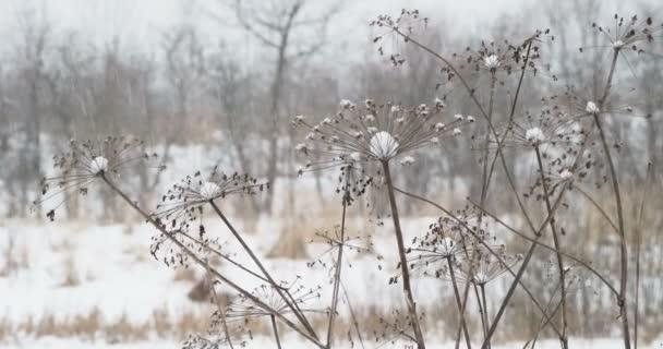 Husté sněžení na poli s uschlou trávou. Zimní přírodní pozadí.