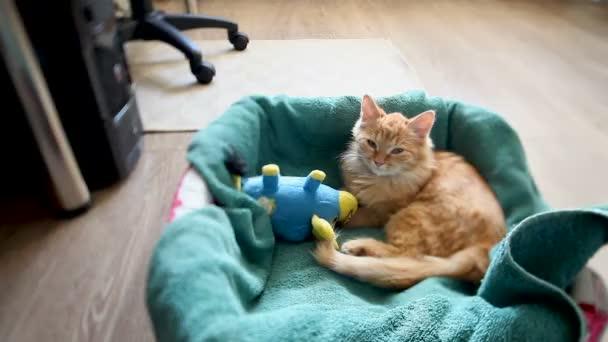 Aranyos gyömbér cica szunyókált a kék játék bika ágyban. Bolyhos kisállat van egy nap, átölelve a kedvenc játék