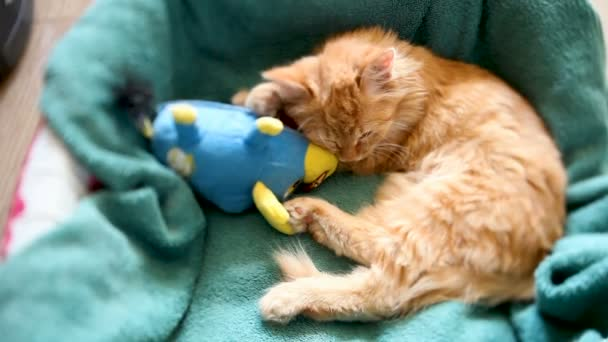 Cute ginger kitten sleeps in its bed with blue toy bull. Fluffy pet has a nap hugging favorite toy.