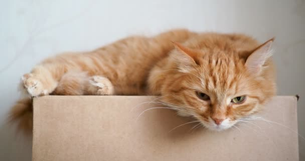 Roztomilý zázvor kočka ležící na řemeslo papírová krabice. Nadýchané petsettle spánku a hrají ve fotoaparátu.