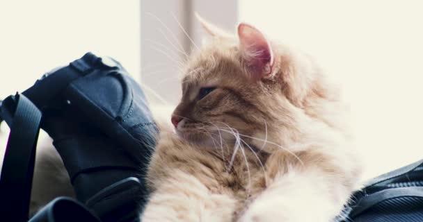 Aranyos gyömbér macska feküdt a hátizsák. Bolyhos kisállat ásítás.