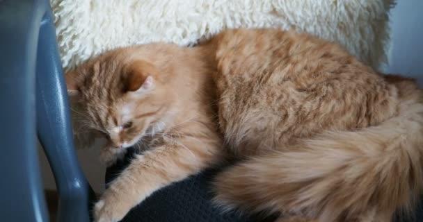 Aranyos gyömbér macska fekvő székre. Bolyhos kisállat szunyókált alján fekete szövet
