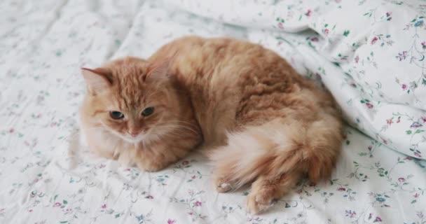 Aranyos vörös macska fekszik az ágyban. Az ember simogatja a bolyhos háziállatát. Reggeli lefekvés a kényelmes otthonban.