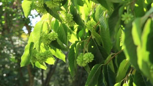 Camptotheca nebo Happy Tree, rakovina strom, nebo strom života. Camptotheca acuminata. Krym.