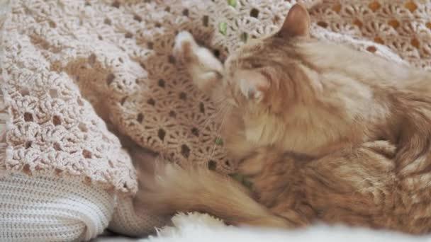 Aranyos vörös macska nyalogatja a bézs kötött szövetet. Bolyhos kisállat a hangulatos otthon.