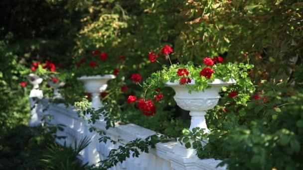 Venkovní vázy s kvetoucích červenými květy Pelargonium. Letní slunný den.