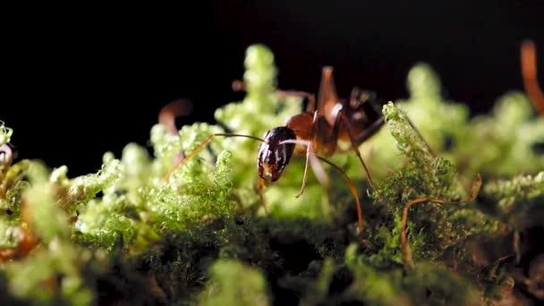 Makro felvételek hangyákról, eusocial rovarokról. Lassú mozgás..