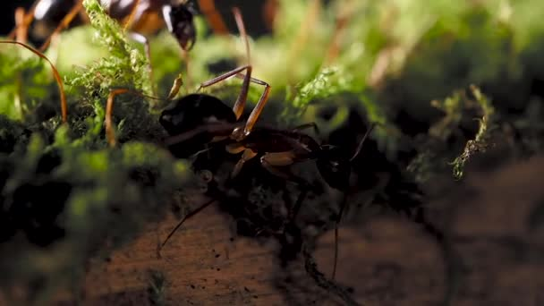 Macro footage of ants, eusocial insect. Slow motion.