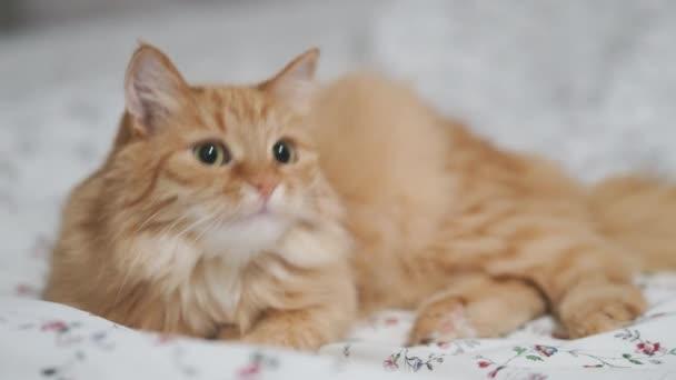 Roztomilá zrzavá kočka ležící v posteli. Chlupatý mazlíček v útulném domě.
