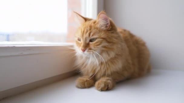 Roztomilá zrzavá kočka ležící na parapetu. Chlupatý mazlíček sedí doma v karanténě, aniž by vyšel ven. Zpomalený pohyb.