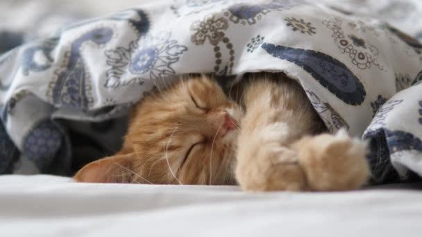 Aranyos vörös macska alszik az ágyban. Bolyhos kisállat kényelmesen rendezve takaró alatt.
