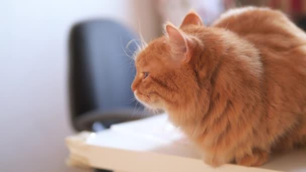 Naštvaná zrzavá kočka sedí na bílém stole. Chlupatý mazlíček vypadá podrážděně. Roztomilé domácí zvíře v útulném domě.