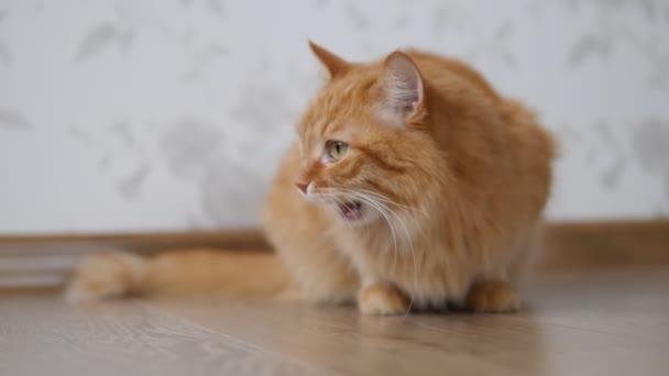 Roztomilá zrzavá kočka očichává podlahu a olizuje se. Chlupatý domácí mazlíček v útulném.