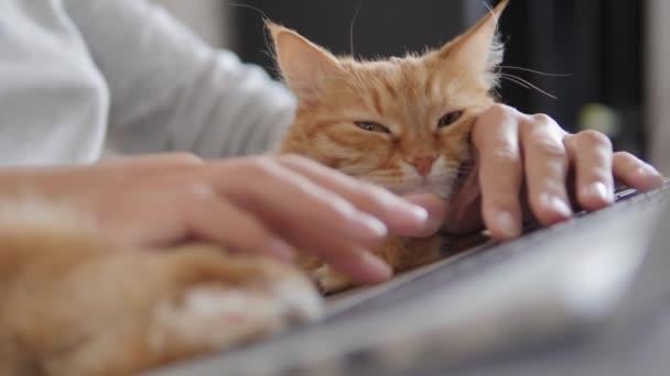 Žena v šedé domácí oblečení dálkově pracuje s notebookem a roztomilé zázvorové kočky na kolenou. Koronavirus uzamčen. Karanténa kvůli COVID-19.