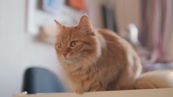 Zvědavá zrzavá kočka sedí na stole. Chlupatý mazlíček se dívá pozorně. Chlupaté domácí zvíře v útulném domě.