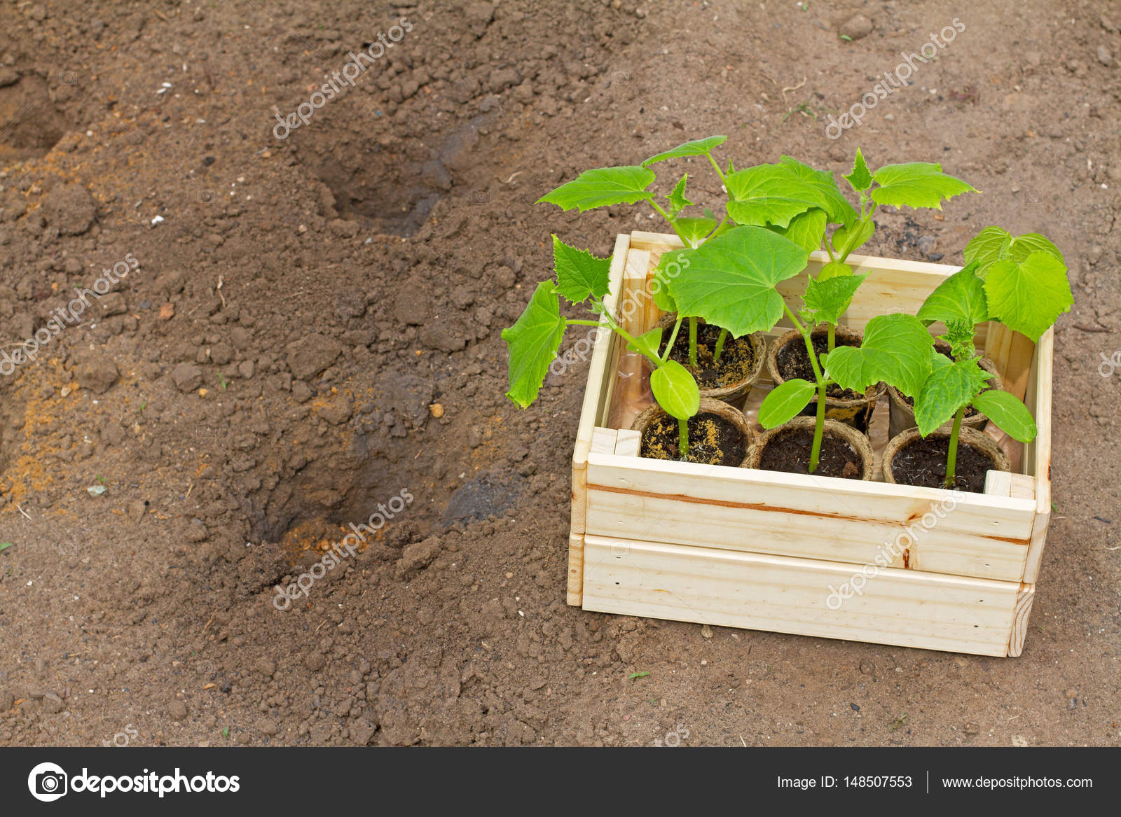 Wooden box with small cucumber\'s sprouts ready for seeding on the ...