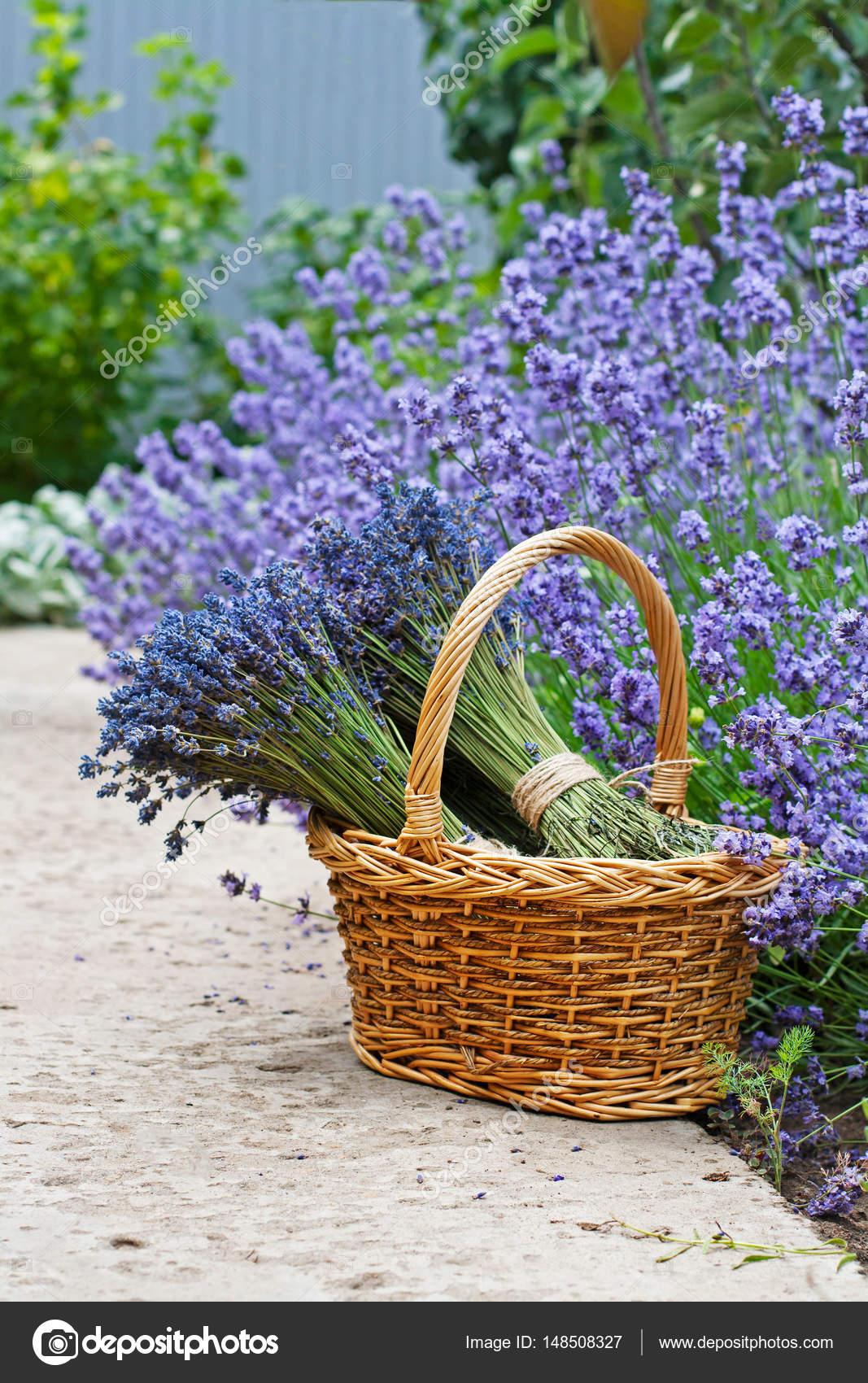 Mazzi di fiori di lavanda in cestino di vimini in giardino foto stock yulyao 148508327 - Fiori di giardino foto ...