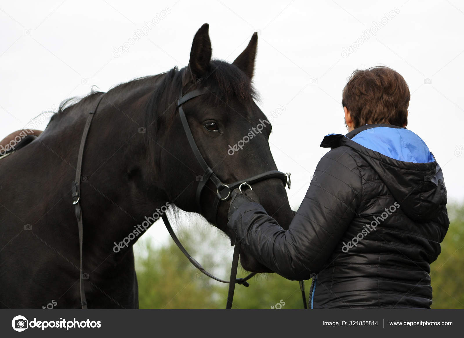 Communicaton Black Draft Horse Woman Working Hands Training Basic Dressage Stock Photo C Aurency 321855814
