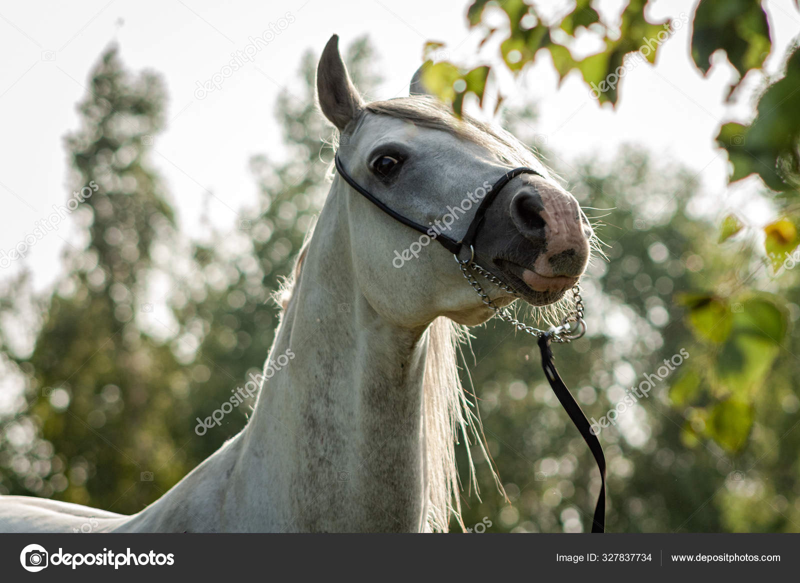 Grey Purebred Arabian Horse Posing Show Halter Summer Outdoors Anima Stock Photo C Aurency 327837734