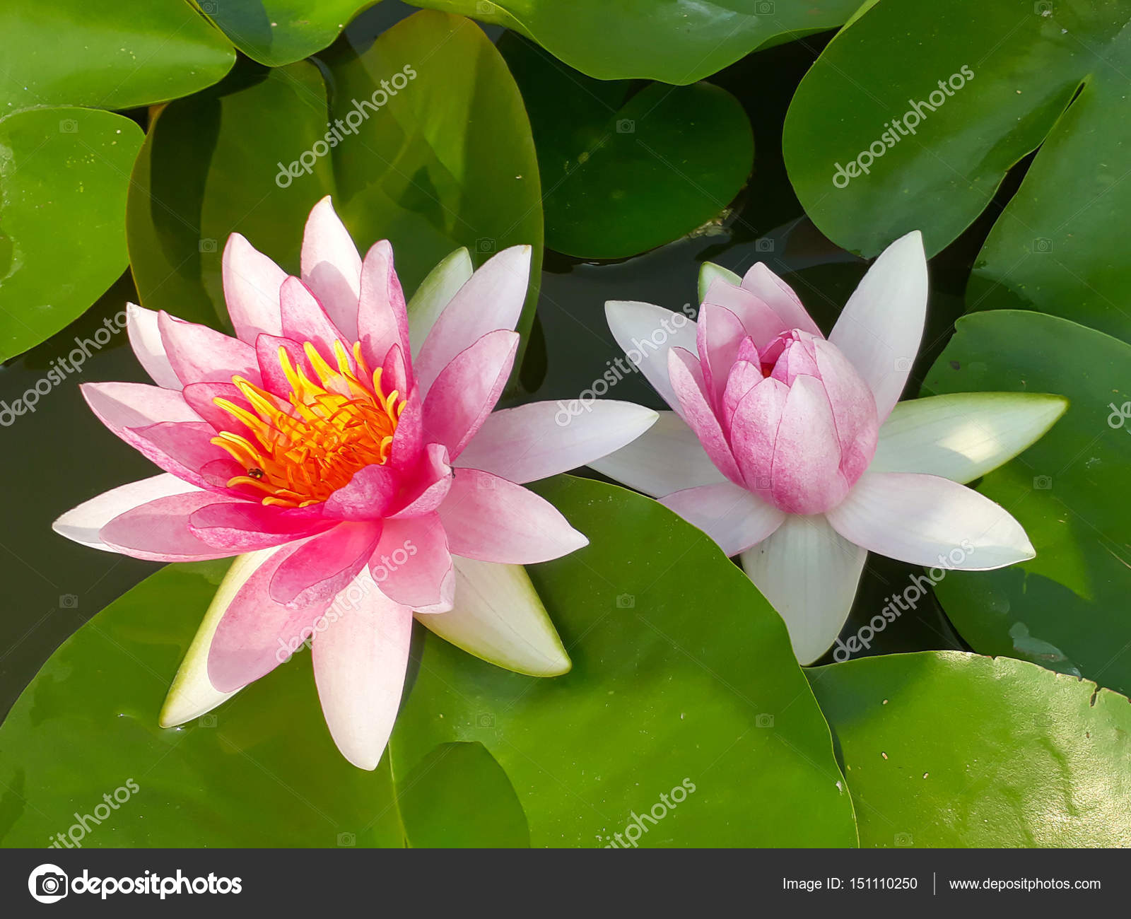 Lotus Flower In Pond Stock Photo Kun2512 151110250