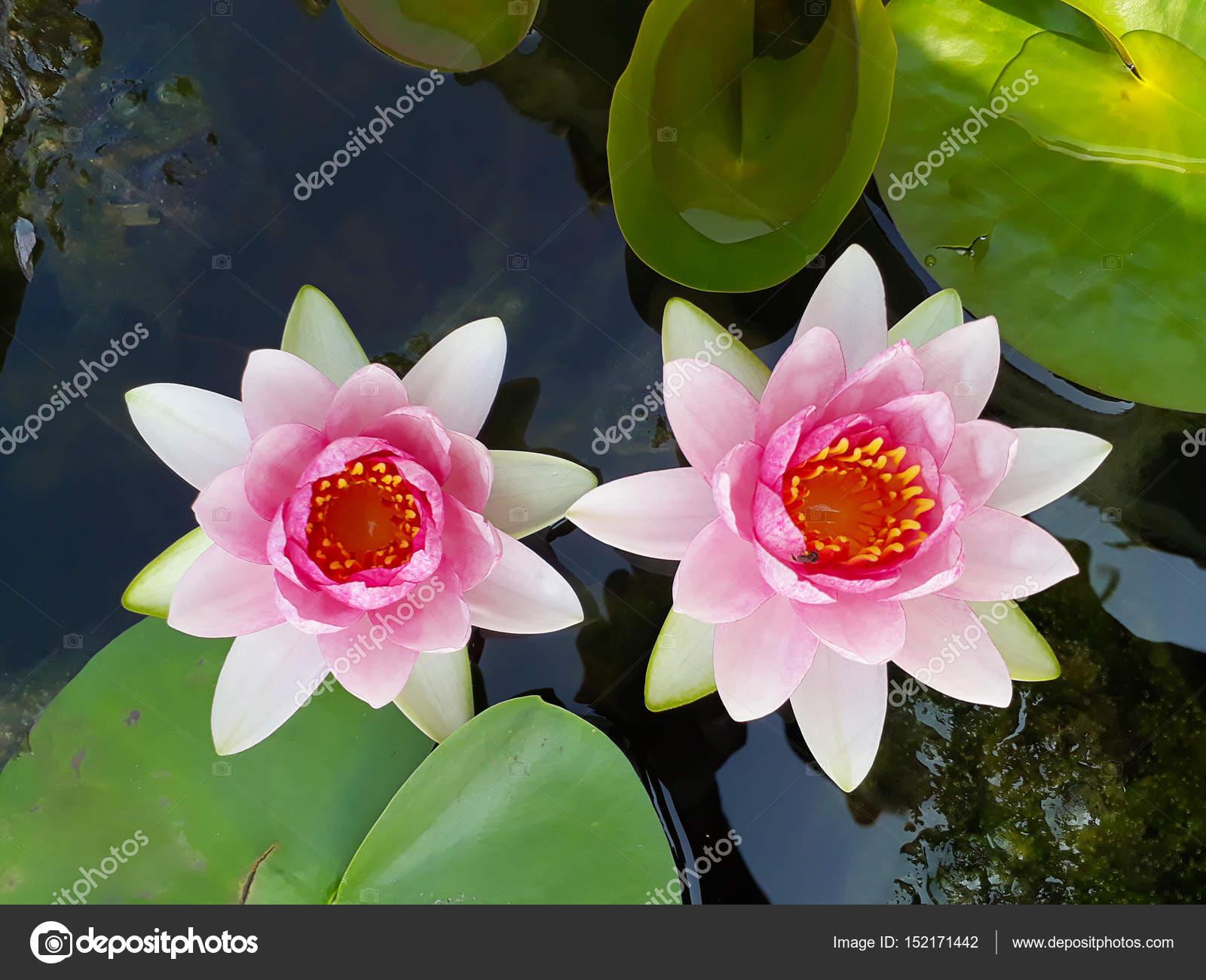 Lotus Flower In Pond Stock Photo Kun2512 152171442