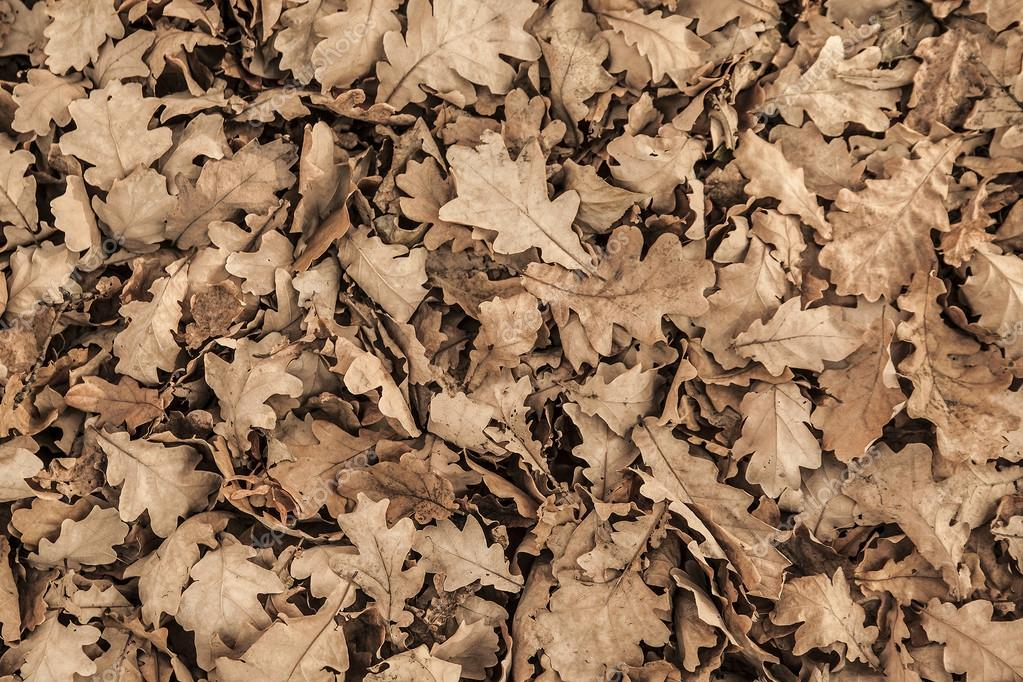 oak dry Leaves  on the ground