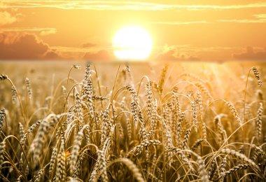 ripening ears of yellow wheat field