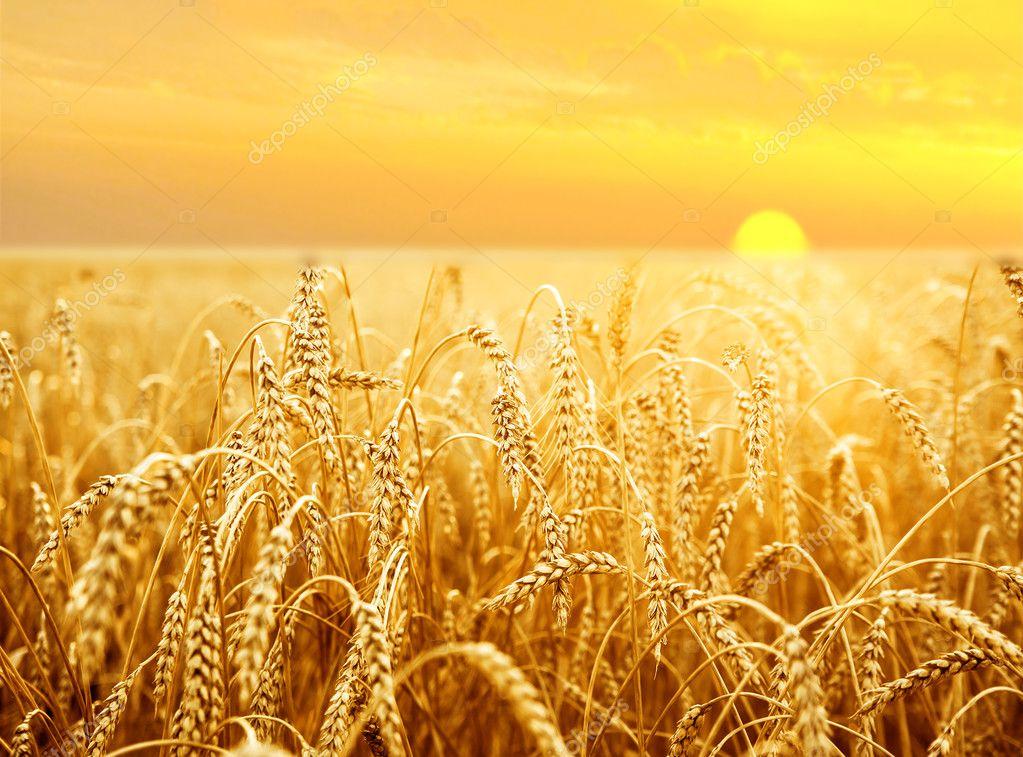 wheat on  field at  sunset