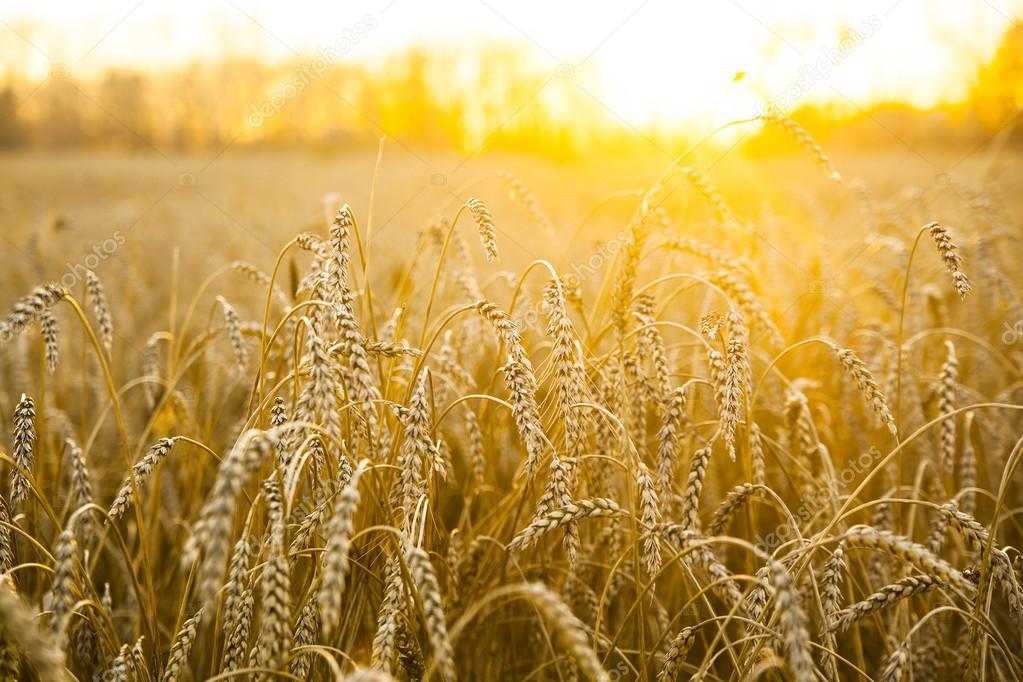 wheat field on the sunset