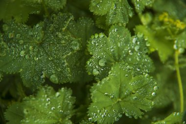 Green leaves with  morning drops