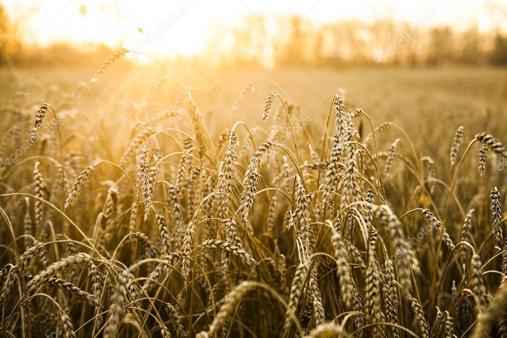 wheat ears over sunset