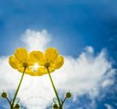 tavaszi mező sárga virágok