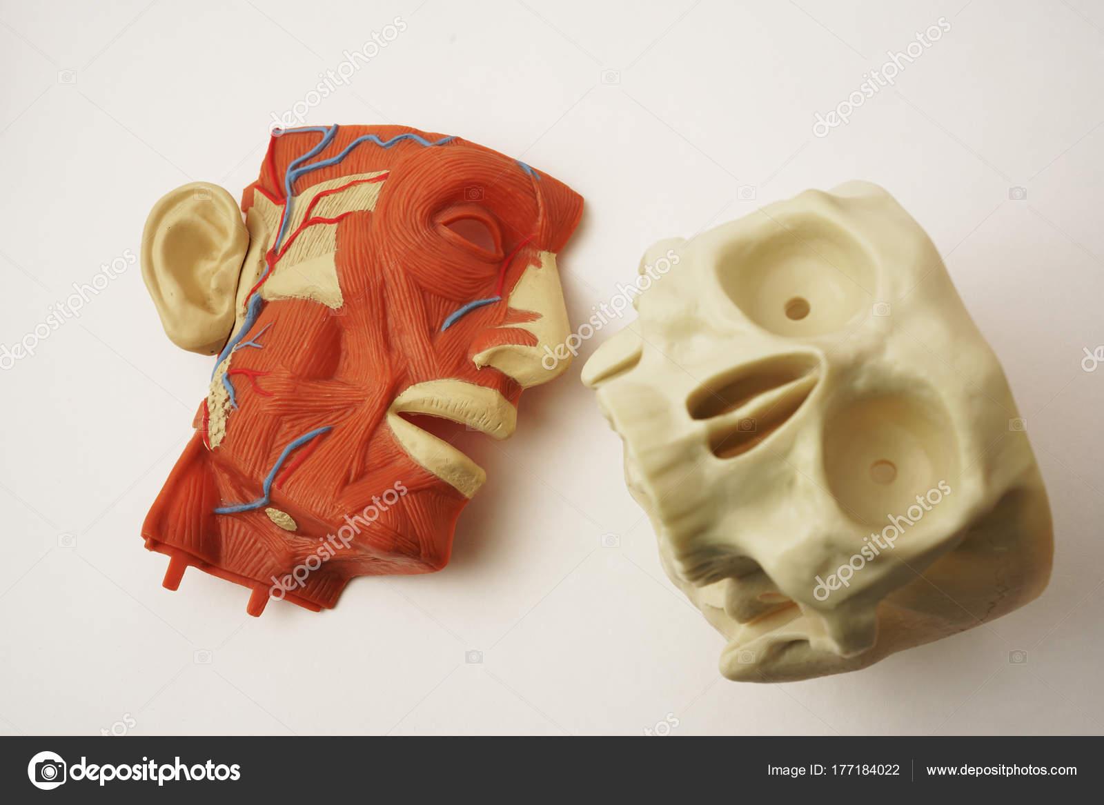 Modelo Anatomía Cabeza Anatomía Masculina Músculos Del Esqueleto ...