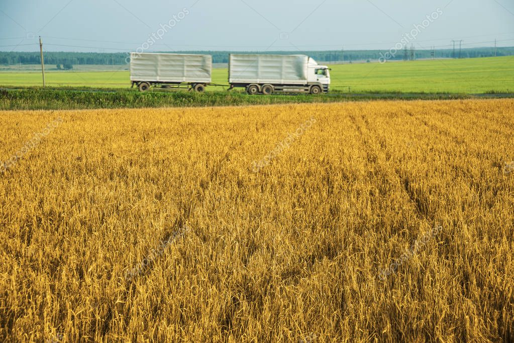 Large trucks in wheat field.  summer landscape with a view over a field of ripening wheat