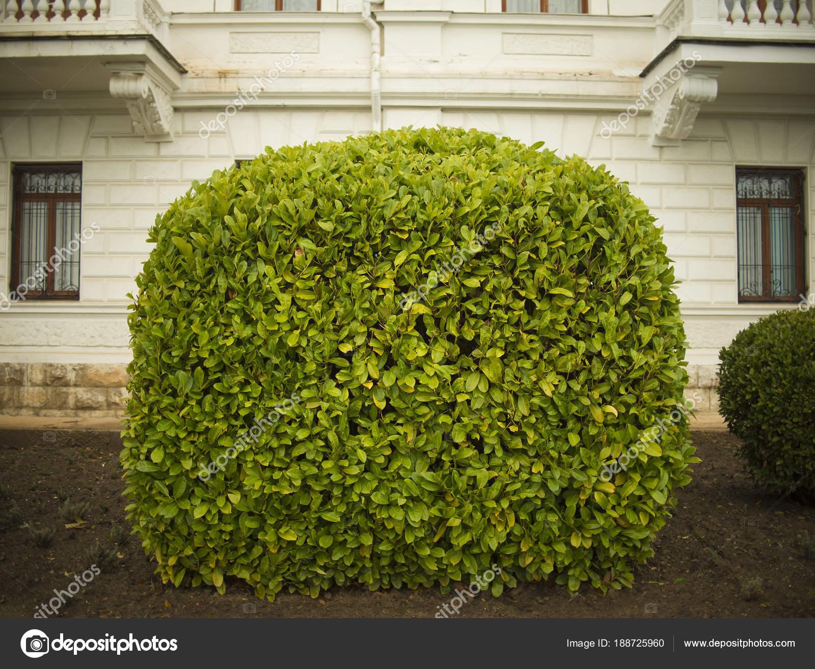 One Big Green Bush White Concrete Wall Background Stock Photo