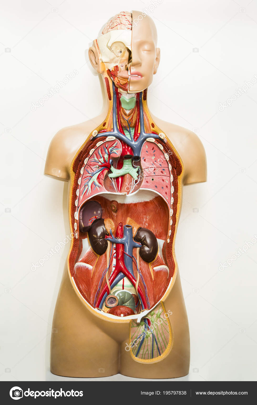 Plastic Model Human Body Anatomy Medical Internal Organs System