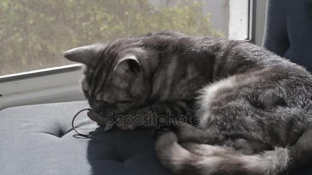 Cute gray cat playing with toy mouse on window sill– stock footage. Cute  gray cat playing with toy mouse ...