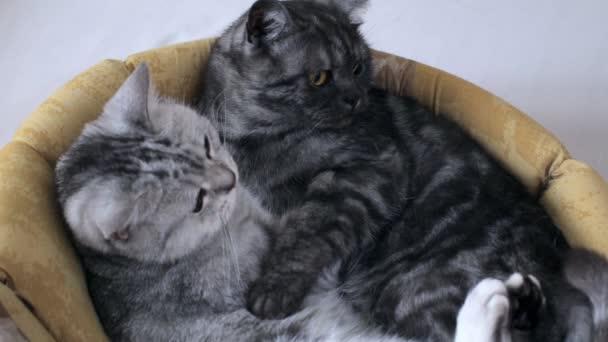 Roztomilý britské kočky mourek objímání