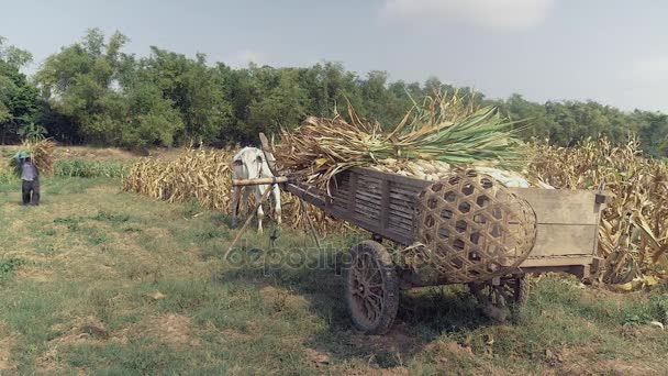 Betöltése a kukorica szára mint kukorica termelő növények rá fából készült kocsi, a mező szélén.