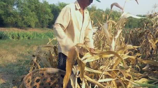 Farmář výdeje obilí ručně a pomocí bambusové koše ho (Detailní záběr )