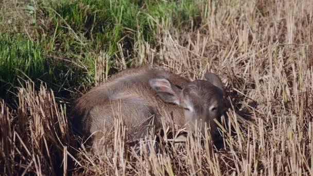 Detailní záběr z buffalo tele spát v louka