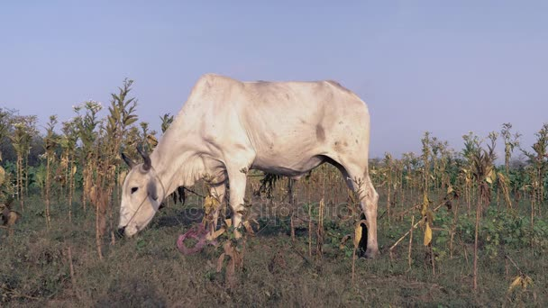 White cows grazing in a field ( close up )